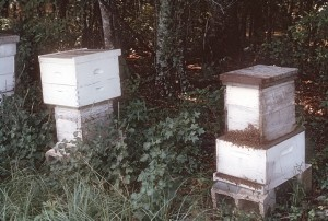 Colonies in the process of being transferred from box hives to traditional hive equipment.