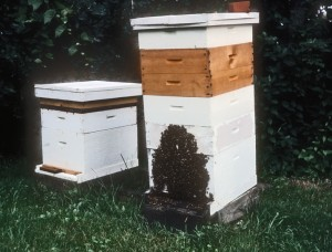 Hives with traditional section supers in place.  The tall colony is badly crowded in order to force the bees to work the section supers.  In rebellion, the bees would frequently swarm or even abscond.  But otherwise, beautiful basswood sections of comb honey was the result.  Most of the equipment pictured is no longer manufactured.
